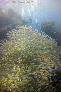 A group of divers above a large school of Ox-Eye Scad at Sail Rock, Koh Phangan, Thailand