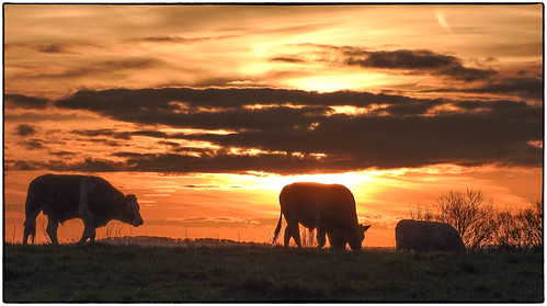 elstead england unitedkingdom gb sunrise fields cows