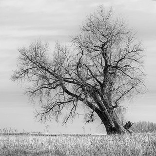 Out on a Limb VII  #trees #tree #winter #cottonwood #Colorado #Loveland #larimercounty #nature #leanin #nofilter #hiptobesquare | by ajschroetlin