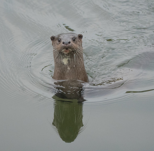 Otter | by markhows