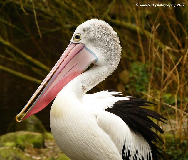 Brillenpelikan (Pelecanus conspicillatus) / Glasses pelican