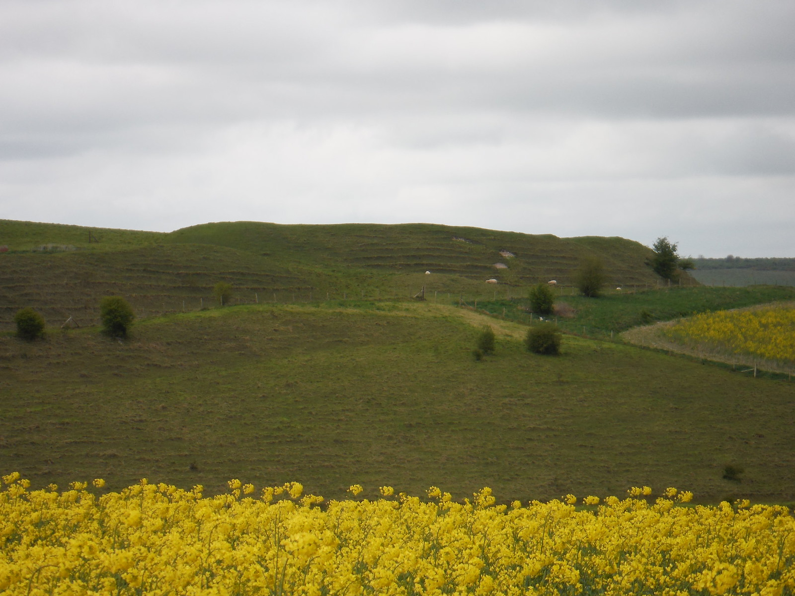 Scratchbury Camp Ramparts SWC Walk 286 Westbury to Warminster (via Imber Range)