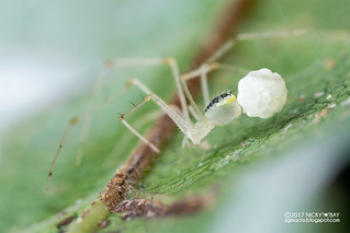 Comb-footed spider (cf. Meotipa sp.) - DSC_3478