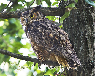 Great Horned Owl in Virginia | by Dave W.