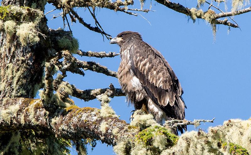 Young Bald Eagle waiting