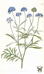 Blue thimble flower. Gilia capitata. The Botanical Register vol. 14 (1828)