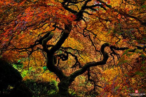 autumn nature oregon portland landscape outdoors pacific northwest fallcolors sony scenic fullframe fx treeoflife peterlik japaneseredmaple a7r portlandjapanesegardens sonya7r sonyilce7r zeissfe35mmf28za