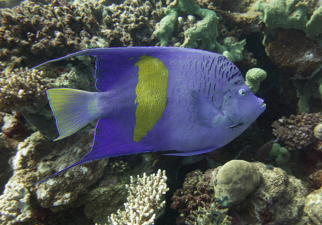 Yellowbar Angelfish (Explored), Pomacanthus maculosus, House Reef, Nama bay, Sharm El Sheikh