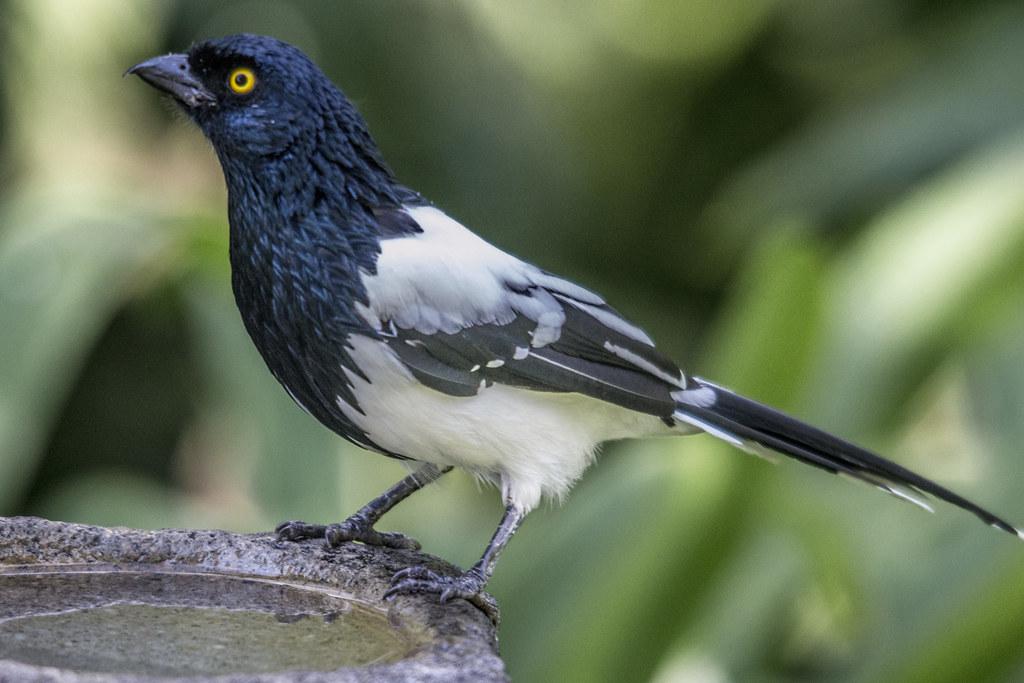 Magpie tanager; the longest species of tanager