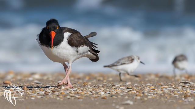 American Oystercatchers of Sandy Hook | 2017 - 1