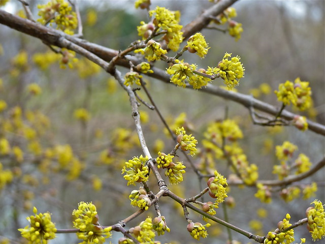 Signs Of Spring -- Does Anyone Know What This Shrub Is?