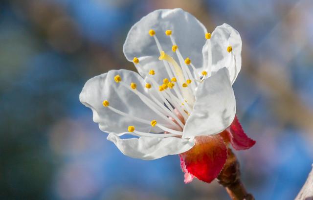 Prunus armeniaca / Apricot / Marille