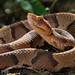 Southern Copperhead (Agkistrodon contortrix contortrix) by Pierson Hill