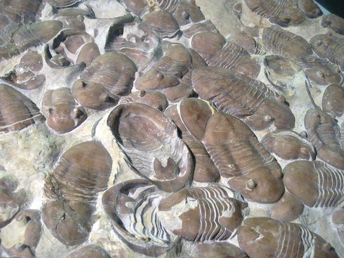 Homotelus bromidensis fossil trilobites (Bromide Formation, Middle Ordovician; Criner Hills, southeastern Carter County, southern Oklahoma, USA) 3 | by James St. John