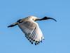 Australian White Ibis (Threskiornis molucca) by David Cook Wildlife Photography