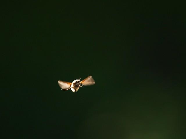 fliegender Hummelschweber