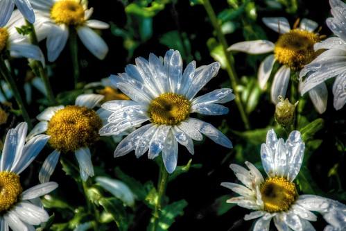 flowers nikon hdr onone photomatix tonemapped sunvalleyidaho d7100
