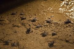 Baby sea turtles - Pulau Selingan (Turtle Island), Sabah, Malaysian Borneo