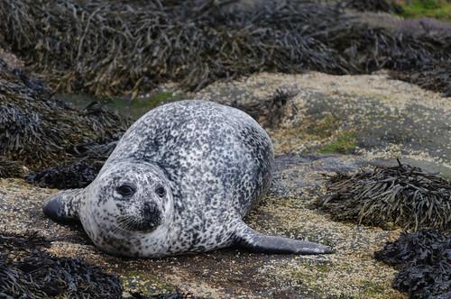 Common Seal, Skye | by CarolineG2011