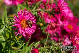 Bienchen | Projekt 365 | Tag 275