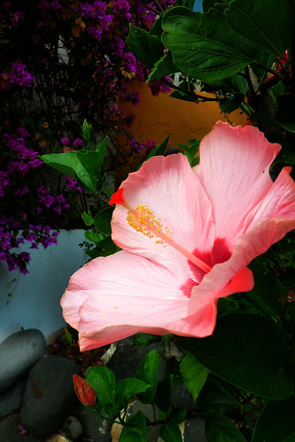 It's an Hibiscus | by Orchids love rainwater