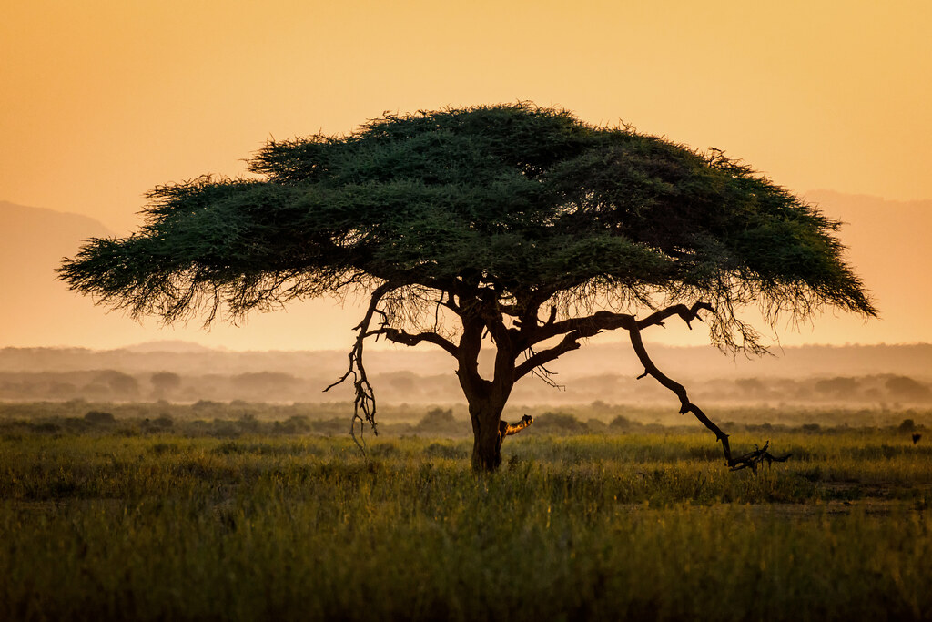 Umbrella Thorn Acacia Tree Vachellia Tortilis At Sunrise Flickr