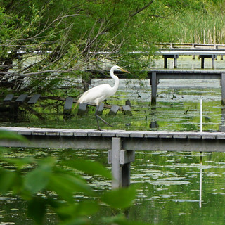 Great Egret on the boardwalk at the Wetlands #AnimalOSU