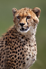 Next: Portrait of a Young Cheetah