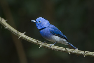 Black-naped Monarch - Thailand_S4E7277 | by fveronesi1