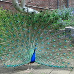 The whole peacock