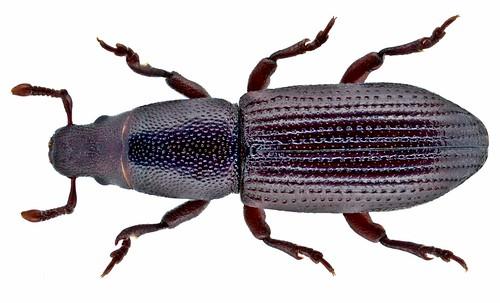 Rhyncolus ater (Linné, 1758) Syn.: Rhyncolus chloropus (Linné, 1758) | by urjsa