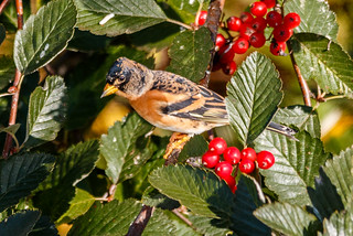 Brambling | by tods_photo
