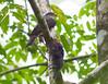 Tiny Hawk 140906 Accipiter superciliosus by Langham Birder