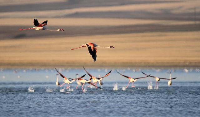 Büyük flamingo (Phoenicopterus ruber)
