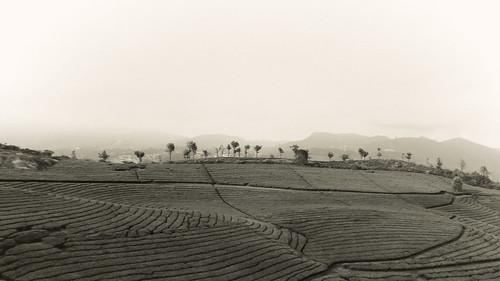 india landscape estate sony ngc tamilnadu anthropology ooty nonsuch coonoor nilgiris teaestate nex mirrorless thenilgiris sonynex3n