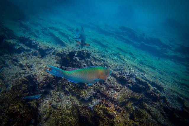 Peix Lloro