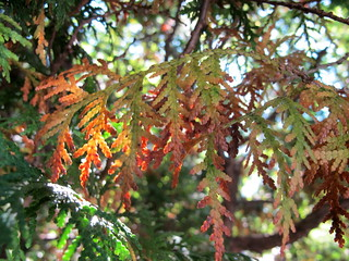 Thuja plicata in Autumn | by klp.nyc