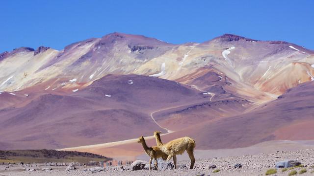 Vicuñas/ vigogne (Vicugna vicugna)/sud lipez/bolivia