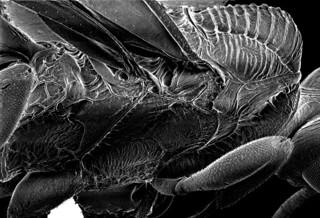 ANCGC07 lateral mesosoma, Aulacus emineo Jennings & Austin (Hymenoptera: Aulacidae), Aoupinie, New Caledonia