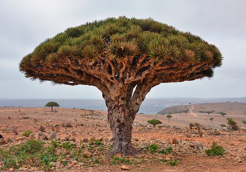 Dragon's Blood Tree, Socotra Island | by Rod Waddington
