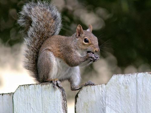 Gray Squirrel 20170228