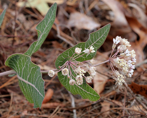 Sandhill Milkweed (Asclepias humistrata) | by Mary Keim