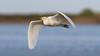 Garcita Bueyera - Bubulcus ibis - Cattle Egret by Jorge Schlemmer