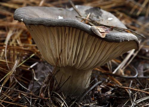mushroomsandfungi fungus mushroom hygrophorus hygrophoruscamarophyllus nature forest unb unbwoodlot universityofnewbrunswick canon canonxti 蘑菇