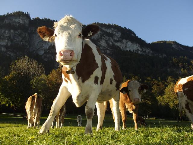 Kuh Kühe Kalb Kälber Cow Cows Calf Österreich Austria Tirol (c)