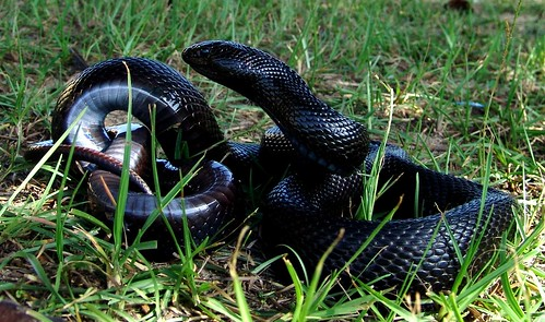 Black pinesnake | by USFWS/Southeast