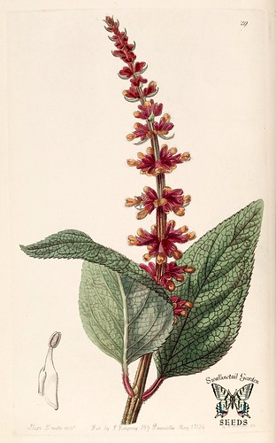 Salvia confertiflora. Edwards's Botanical Register, vol. 25: (1839) [S.A. Drake]