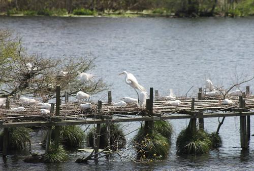 birds egret greategret rookery averyisland