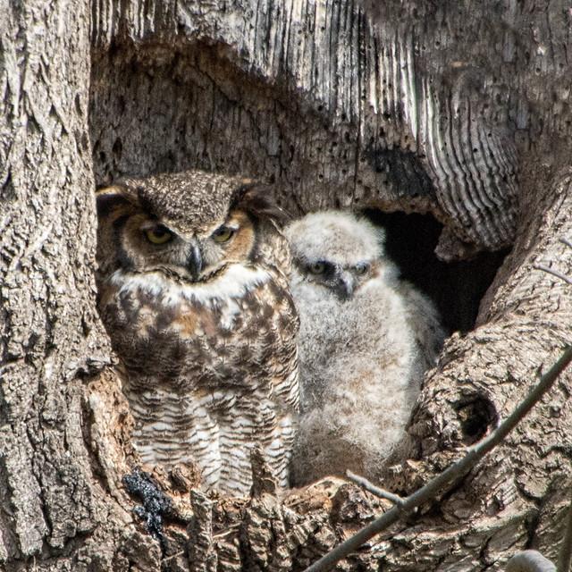 Owl with Owlet-Ephrata, PA