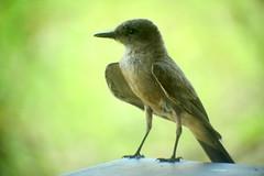 Say's Phoebe, Patagonia-Sonoita Creek Preserve, AZ, 7/24/2014